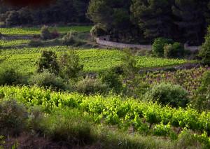 Flayosc mei wijngaard