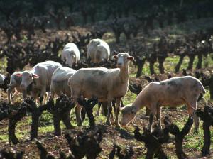 Schapen wijnveld