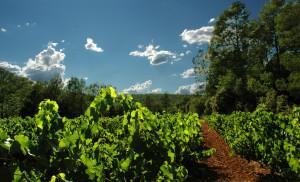 Wijngaard 493