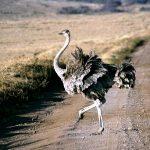Struisvogel 7